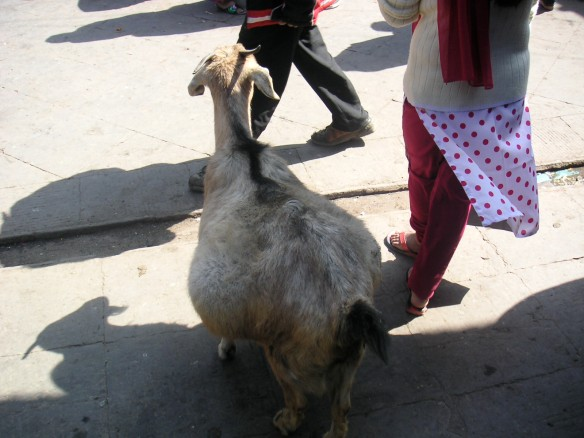 Heavily pregnant goat down at the temple...