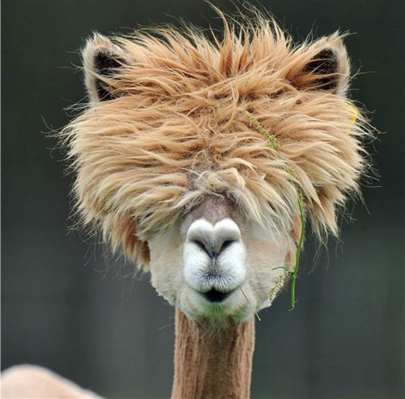 the-most-ridiculously-good-looking-alpaca-hairdos-11